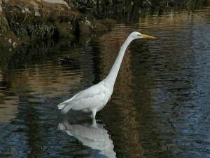 Postal: Garza blanca (Ardea alba)