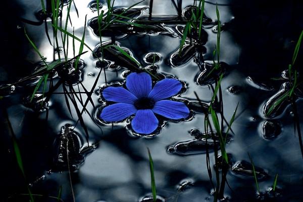 Flor azul flotando en una charca