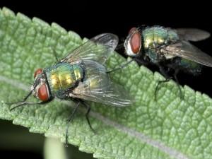 Postal: Dos moscas verdes