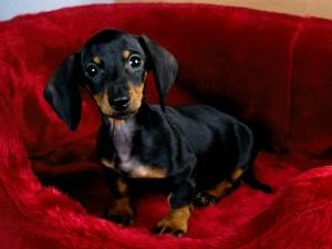 Postal: Pequeño perro salchicha