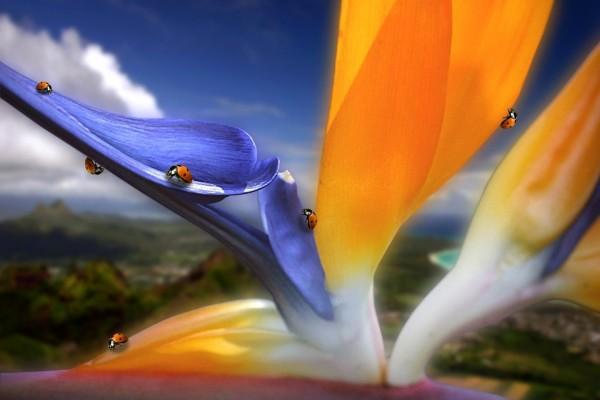 """Una flor del """"ave del paraíso"""" llena de mariquitas"""