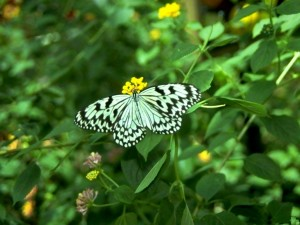 Mariposa blanca y negra sobre una flor amarilla