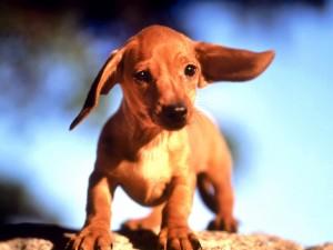 Postal: Cachorro de perro salchicha (Dachshund)