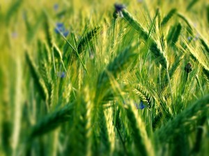 Espigas de trigo verde