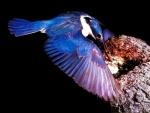 Martín pescador llevando comida al nido