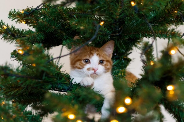 Gatito en las ramas de un árbol de Navidad
