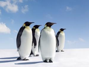 Postal: Cuatro pingüinos emperador