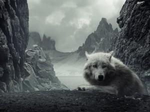 Postal: Un lobo blanco en las montañas