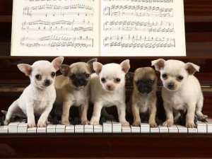 Chihuahuas tocando el piano