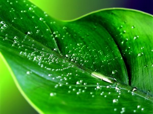 Postal: Hoja verde con gotas de rocío