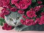 Un gato gris escondido tras unos crisantemos