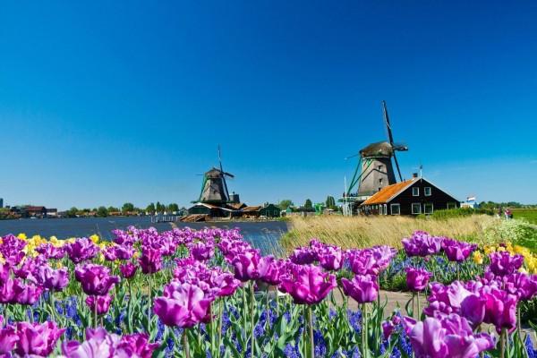 Molinos de viento y flores silvestres en Holanda
