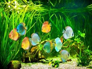 Acuario con peces disco de colores