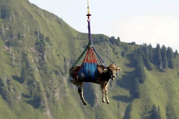 Una vaca volando