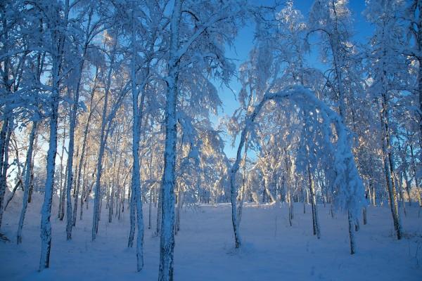 Un bosque nevado a las afueras de Kiruna, Suecia