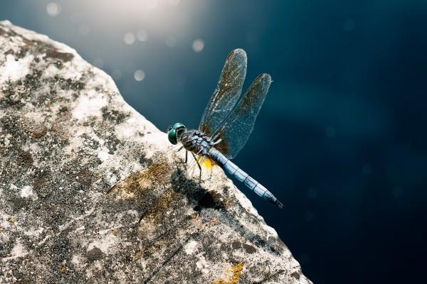 Libélula azul sobre una piedra