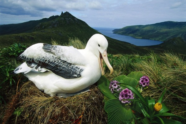 Albatros real (Diomedea epomophora)