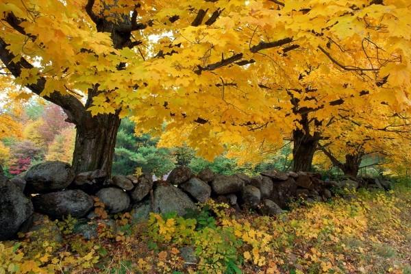 Cercado de piedras y árboles amarillos