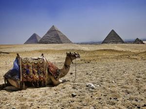 Postal: Camello frente a las Pirámides de Egipto