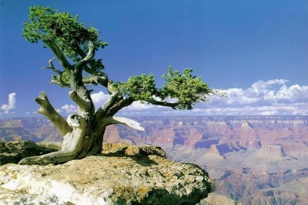 Árbol coronando el Gran Cañón (Arizona)