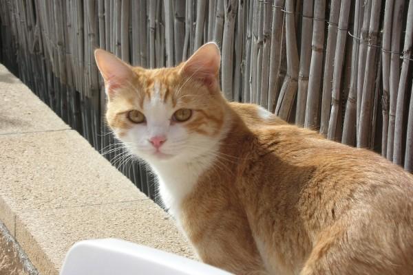 Gato rubio y blanco