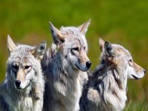 Tres lobos grises