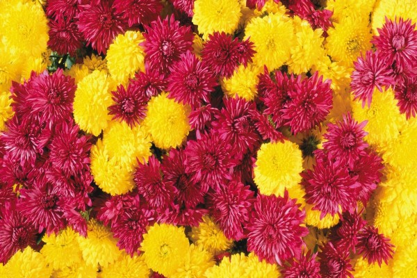 Crisantemos amarillos y púrpuras