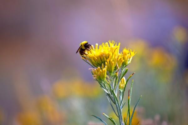 Abeja recogiendo polen de una flor amarilla