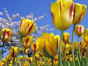 Postal: Tulipanes rojos y amarillos