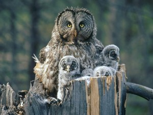 Familia de lechuzas