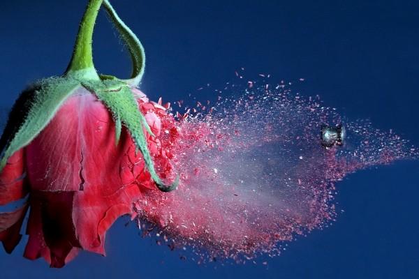 Una rosa reventada por un perdigón
