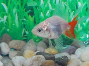 Fantail (goldfish)