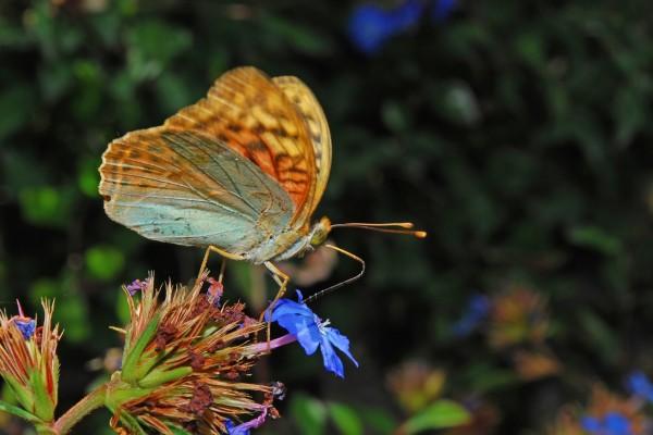 Mariposa Pandora libando una flor
