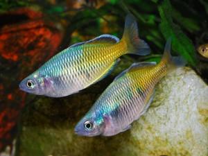 Peces arco iris (Melanotaenia boesemani)