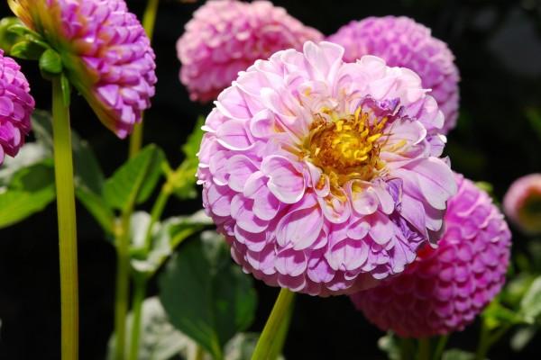 Dhalias rosas