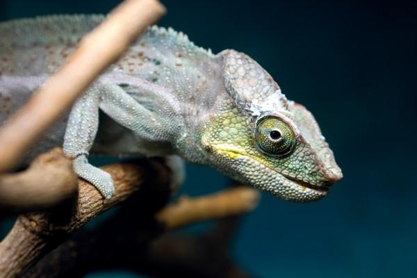 Mirada de un camaleón