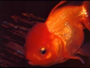 Postal: Oranda naranja (Goldfish)