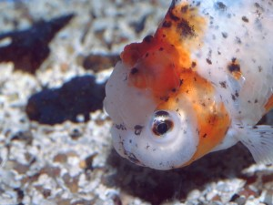 Cabeza de Oranda Calico (Goldfish)