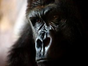 Postal: La mirada inteligente de un gorila