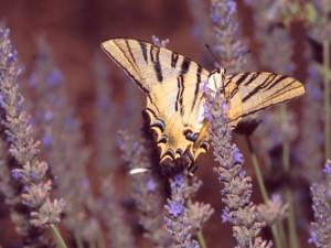 Mariposa podalirio (Iphiclides podalirius) en una flor de lavanda