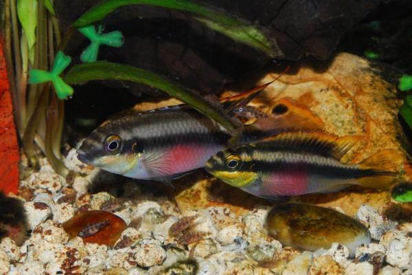 Pareja de Pelvicachromis pulcher con sus crías