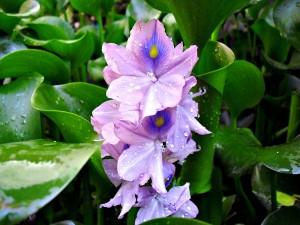 Flor de lirio salpicada por gotas de agua