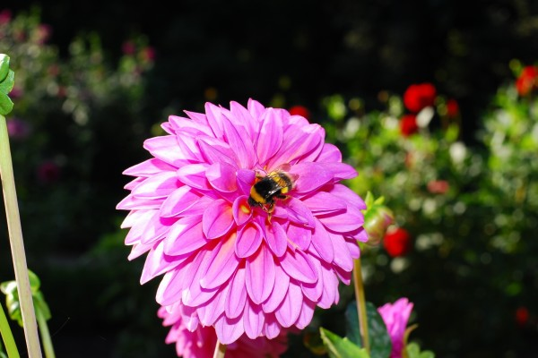 Dahlia con un abejorro encima