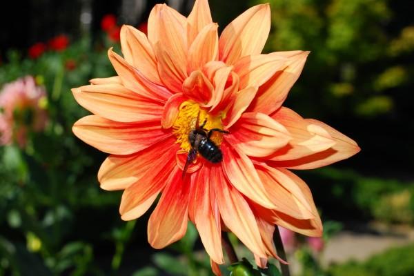 Dahlia naranja con un insecto