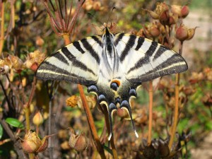 "Postal: Mariposa podalirio (Iphiclides podalirius), también llamada ""chupa leche"""