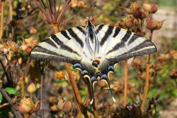 "Mariposa podalirio (Iphiclides podalirius), también llamada ""chupa leche"""