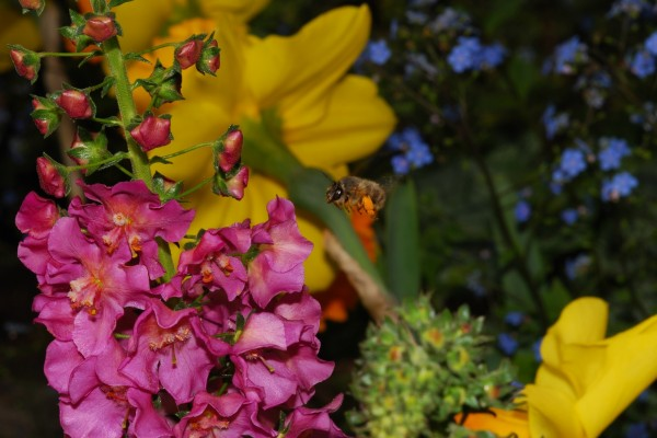Abeja en vuelo entre las flores