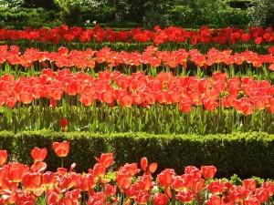 Postal: Parterres de tulipanes