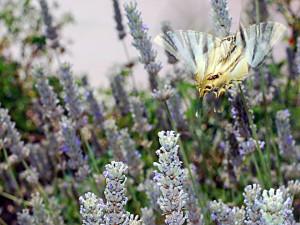 Postal: Mariposa Podalirio sobre un campo de lavanda