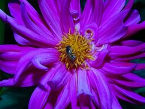 Flor de Dahlia con un insecto en su interior